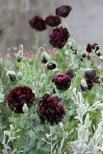 POPPY Double Black 100 seeds Papaver paeoniflorum (Peony Poppy)