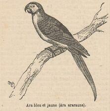 C8994 Ara ararauna - Xilografia d'epoca - 1892 Vintage engraving