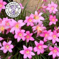 Rare Pink Rain Lily Zephyranthes grandiflora -  Flower - 5 seeds - UK SELLER
