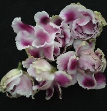 """African Violet Plant- Rs Gertsogi 00006000 nia """"Duchess (Russian)"""