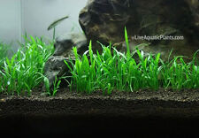 3x Lilaeopsis novaezelandiae Micro Sword Live Aquarium Plants Moss BUY2GET1FREE*