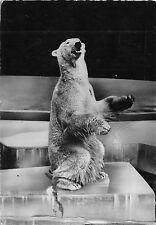 BR44106 Ours Polaire polar bear animaux animals