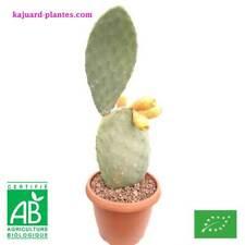 nopal bio en pot opuntia ficus indica type cactus succulentes caudex cactii