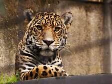 BIG CAT LEOPARD PANTHER PHOTO art print poster foto bmp1206a