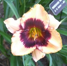 Daylily Plant Renegade Ranger Salter-E.H. Df Cream Black Purple Daylilies