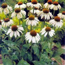 Coneflower- White Swan- 25 Seeds- BOGO 50% off SALE