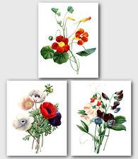 """Juego de 3 impresiones botánico, Tropaeolum Rojo, flores de amapola, Sweet Pea, 8 X 10"""""""