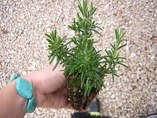 ROSMARINUS OFFICINALIS PROSTRATUS alv. Rosmarino a cascata  Rosemary plant