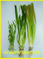 Planta de acuario, gambario .Lote 3 vallisnerias.Americana,tortifolia y spiralis