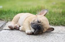 Lying Down Sleeping French Bulldog Puppy - Life Like Figurine Statue Home Garden