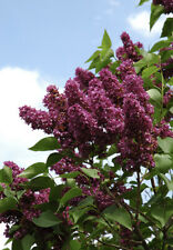 More details for purple flowering lilac tree 'syringa vulgaris charles joly' 3-4ft tall 10l pot
