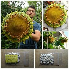 Giant Sunflower ''Tarahumara Great White'' ~25 Top Quality Seeds - EXTRA RARE