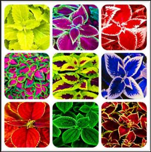 Exotic Coleus 100 PCS Seeds Bonsai Flowers Potted Begonia Garden Plants Mix NEW