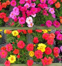 1000 pcs flower Seeds Moss Rose (Portulaca Grandiflora Mixed)