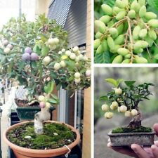 15Pcs Mini Olive Tree Seeds Plants Perennial Delicious Garden Bonsai Fruit Seed