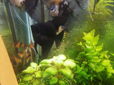 2 FULL GROWN Dark Black Angel Fish Fresh Water Live AngelFish Full Size