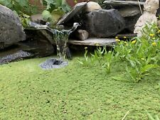 Duckweed (200+) High Quality Floating Indoor Grown Aquarium Plant