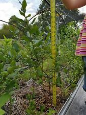 Bluecrop Blueberry plants, bushes 18 to 24  inches tall, 2 plants