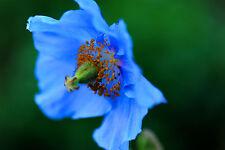 50 semillas de Adormidera Azul del'Himalaya / tibetano / Amapola Azul