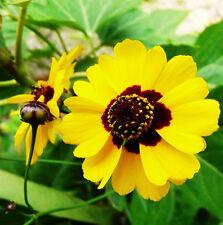Creeping Sanvitalia Seed 30 Seeds Sanvitalia Procumbens Plain Coreopsis Hot A226