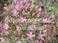 🔥🌿 Echtes Tausendgüldenkraut Heilpflanze pink 50 Samen Teepflanze