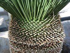 Dasylirion longissimum       15 seeds