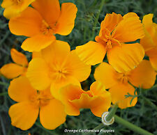 2x T'spoons FULL! MIXED YELLOW & ORANGE CALIFORNIAN POPPY SEEDS OPEN POLLINATED
