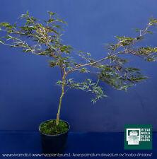 ACER PALMATUM DISSECTUM cv ''INABA SHIDARE'' v18 pianta acero giapponese