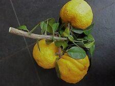 10 Graines Citron du Japon Yuzu 'Citrus junos Yuzu Sieb. ex Tanaka' tree seeds