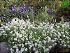 Aliso Tapis de Neige Blanco (Alyssum maritimum) 500 semillas seeds Lobularia