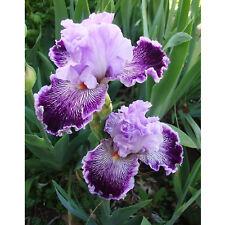 4 Purple AztecQueen Iris Bulbs Yard Garden Flowers Seeds Home Balcony Plants