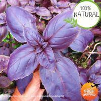 Purple Basil Bonsai Seeds Plants Sweet Ocimum Basilicum And Medicinal Herb