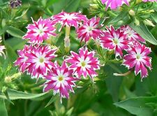 PHLOX 'TWINKLE DWARF MIX' 100+ seeds border bedding POTS flower garden dwarf
