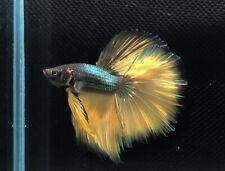Premium Live Betta Fish : Male  Halfmoon Emerald Mustard Gas (BIT048)