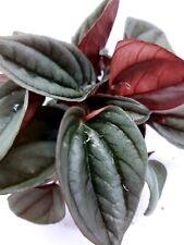 Peperomia Caperata Brasilia Tropical Vivarium Terrarium House Plant