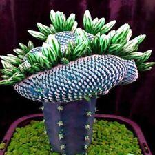 50Stk/Pack Kakteen Kakteensamen Kaktus Sukkulenten Bonsai Garten Pflanzen Samen