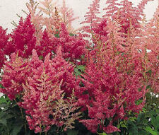 ASTILBE SHOWSTAR MIXED COLORS Astilbe Arendsii - 150 Bulk Seeds