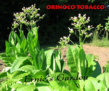 Orinoco Tobacco seed kit, GROW YER OWN PIPE TOBACCO in 2017 + free recipes!