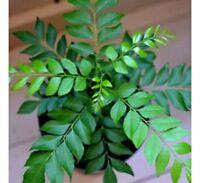 CreativeFarmer seeds For Kitchen Curry Leaf Plant Seeds Kari Patta Seeds 5 unit