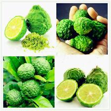 30 Thai Kaffir Lime Tree Seeds Organic Fresh Fruit Plants for Your Garden Home