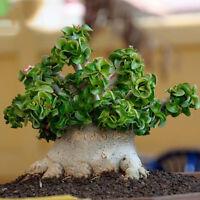 Dorset Horn Adenium Seeds, 2pcs Dwarf Desert Rose Tree Bonsai Unique