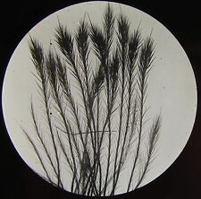 Glass Magic Lantern Slide HAIRS FROM MOTH C1910 MICROSCOPE PHOTO INSECTS