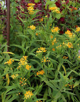 100 Yellow Tropical  Milkweed Seeds (Asclepias curassavica 'Silky Gold')