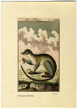 Indian mongoose, Original antique hand colored engraving, from 1785.