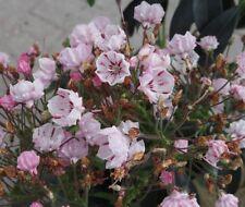 Kalmia latifolia Peppermint, Berglorbeer, Blüte weiß-hellrosa, immergrün