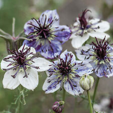 Nigella Papillosa Delft Blue - 500 Seeds - Love-in-a-mist - Hardy Annual Flower