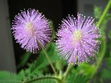 MIMOSA  SENSITIVA  ( mimosa pudica ) 300 Semillas Seeds