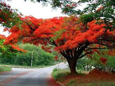 10 Red Royal Poinciana Delonix Regia Tropical Flamboyant Tree Seed T26 Combo S/H
