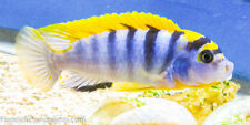 "Four Fish Colony Labidochromis sp. ""Hongi"" ""Kimpuma"" 1.5 inch African Cichlid"