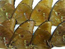 Morpho menelaus menelaus Männchen 10 x UP B-Qualität